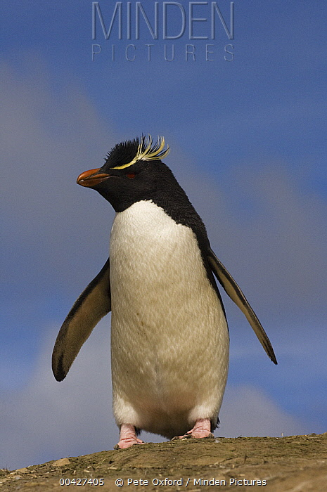 Rockhopper Penguin (Eudyptes chrysocome), Pebble Island, Falkland Islands  -  Pete Oxford