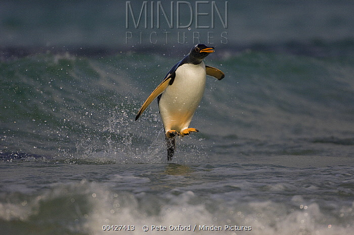 Gentoo Penguin (Pygoscelis papua) coming in with the surf, Pebble Island, Falkland Islands  -  Pete Oxford