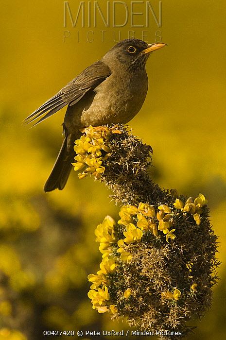 Falkland Thrush (Turdus falcklandii) on flower, Falkland Islands  -  Pete Oxford