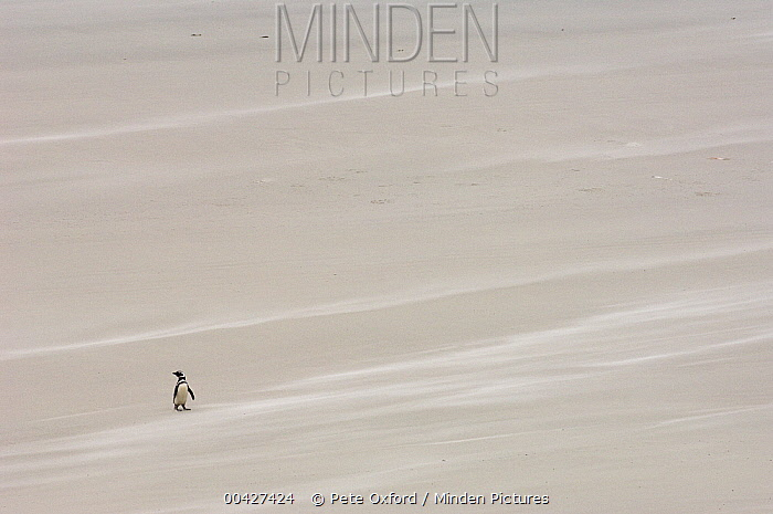 Magellanic Penguin (Spheniscus magellanicus) on beach, Pebble Island, Falkland Islands  -  Pete Oxford