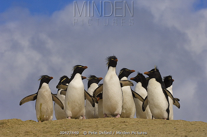 Rockhopper Penguin (Eudyptes chrysocome) group on beach, Pebble Island, Falkland Islands  -  Pete Oxford