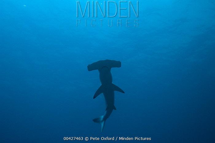 Scalloped Hammerhead Shark (Sphyrna lewini), Wolf Island, Galapagos Islands, Ecuador  -  Pete Oxford