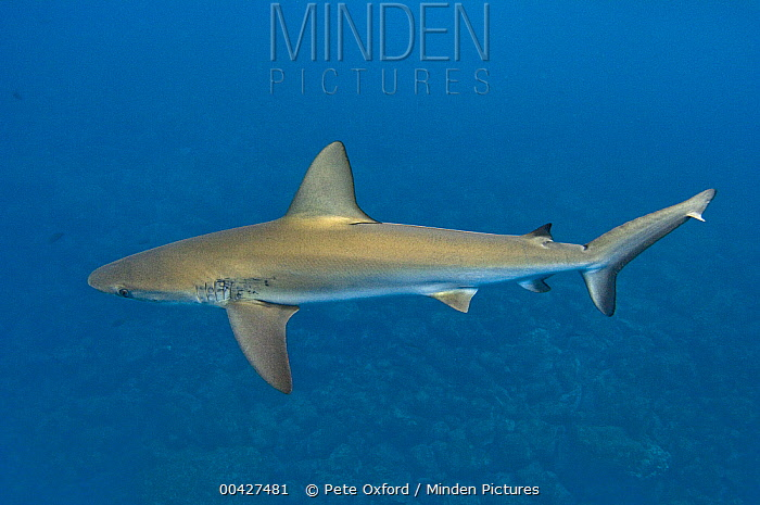 Galapagos Shark (Carcharhinus galapagensis), Wolf Island, Galapagos Islands, Ecuador  -  Pete Oxford