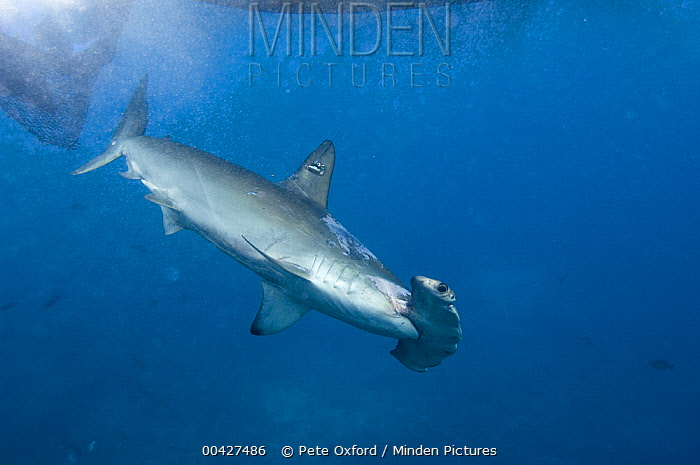 Scalloped Hammerhead Shark (Sphyrna lewini) released after it had a satellite tag attached to its dorsal fin by researchers, Wolf Island, Galapagos Islands, Ecuador  -  Pete Oxford