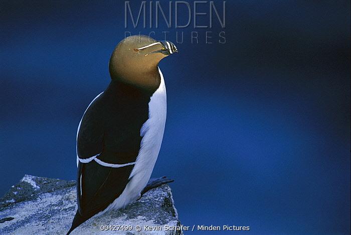 Razorbill (Alca torda), Isle of May, Scotland  -  Kevin Schafer