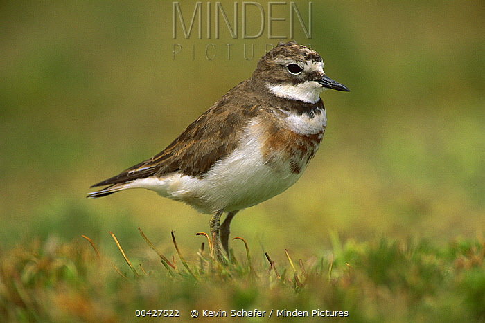Double-banded Plover (Charadrius bicinctus), Enderby Island, New Zealand  -  Kevin Schafer