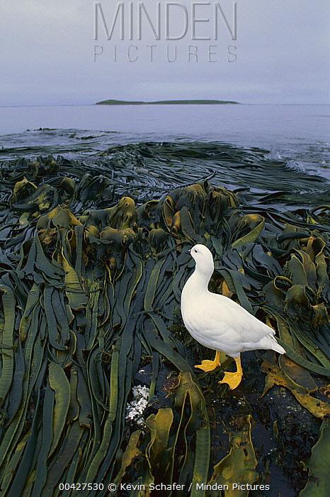 Kelp Goose (Chloephaga hybrida) male, Falkland Islands  -  Kevin Schafer