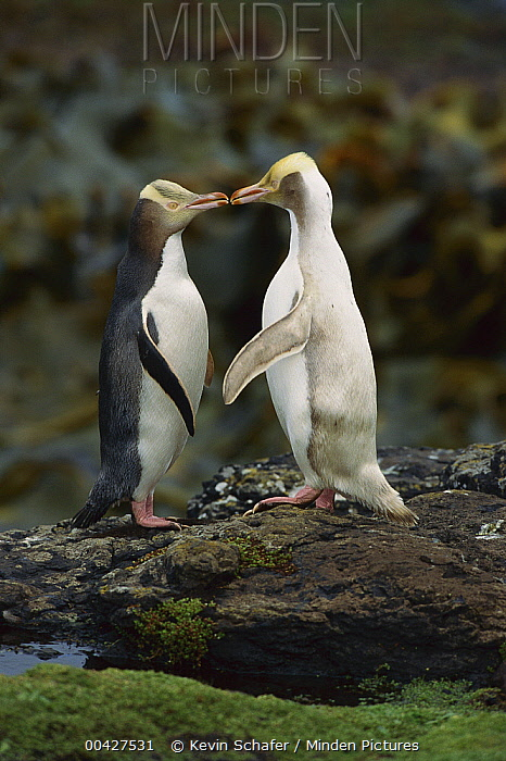 Yellow-eyed Penguin (Megadyptes antipodes) interacting with albino, Enderby Island, New Zealand  -  Kevin Schafer
