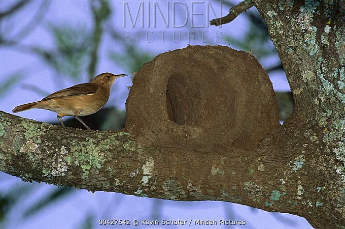 Rufous Hornero (Furnarius rufus) beside mud nest, Iguacu Falls, Brazil  -  Kevin Schafer