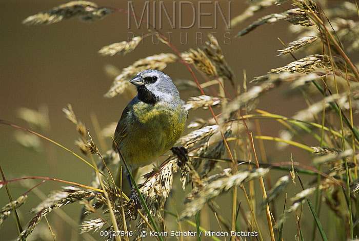 Canary-winged Finch (Melanodera melanodera), Sea Lion Island, Falkland Islands  -  Kevin Schafer