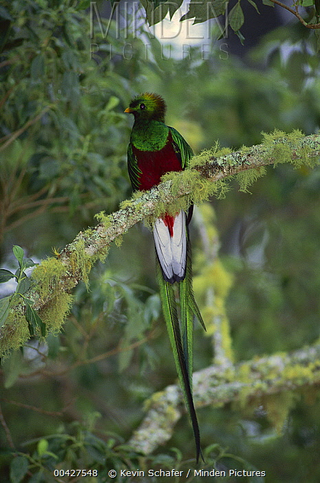 Resplendent Quetzal (Pharomachrus mocinno) male, Talamanca Cloud Forest, Costa Rica  -  Kevin Schafer