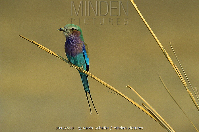Lilac-breasted Roller (Coracias caudata), Zimbabwe  -  Kevin Schafer