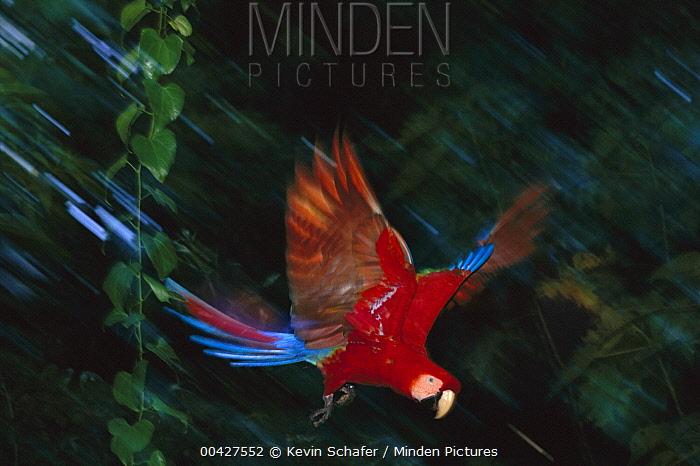 Scarlet Macaw (Ara macao) flying, Tambopata National Reserve, Peru  -  Kevin Schafer