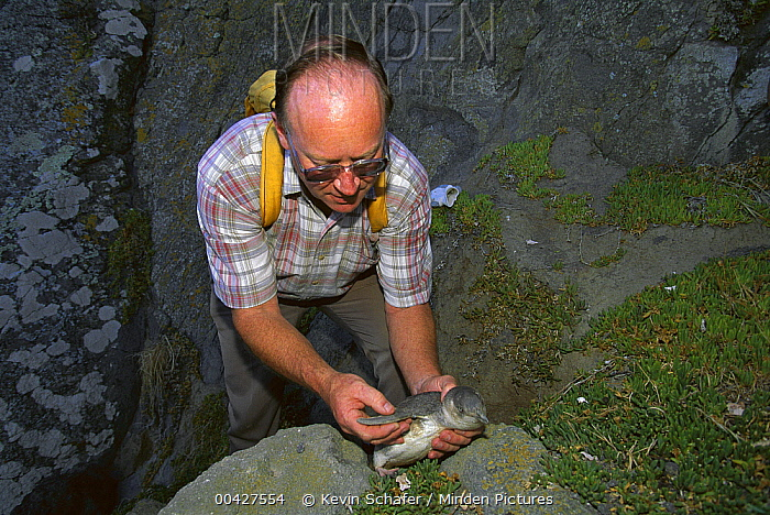 White-flippered Penguin (Eudyptula albosignata) with biologist Chris Challies, New Zealand  -  Kevin Schafer