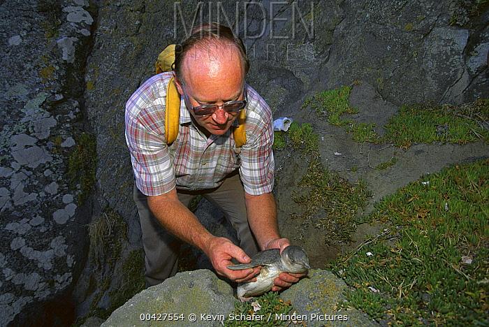 White-flippered Penguin (Eudyptula albosignata) with biologist Chris Challies, New Zealand  -  Kevin Schafer