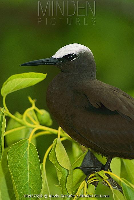Black Noddy (Anous minutus), Heron Island, Australia  -  Kevin Schafer