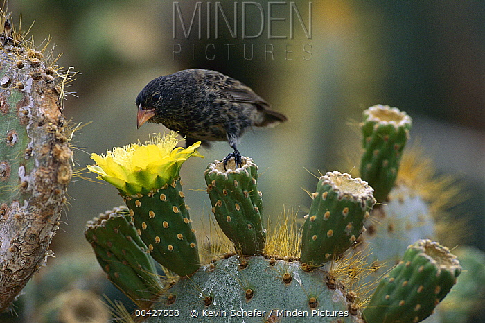 Large Cactus-Finch (Geospiza conirostris) on Opuntia (Opuntia sp) cactus flowers, Tower Island, Galapagos Islands, Ecuador  -  Kevin Schafer