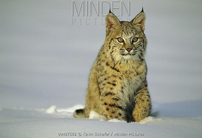 Bobcat (Lynx rufus) sitting in snow, Uinta National Forest, Utah  -  Kevin Schafer