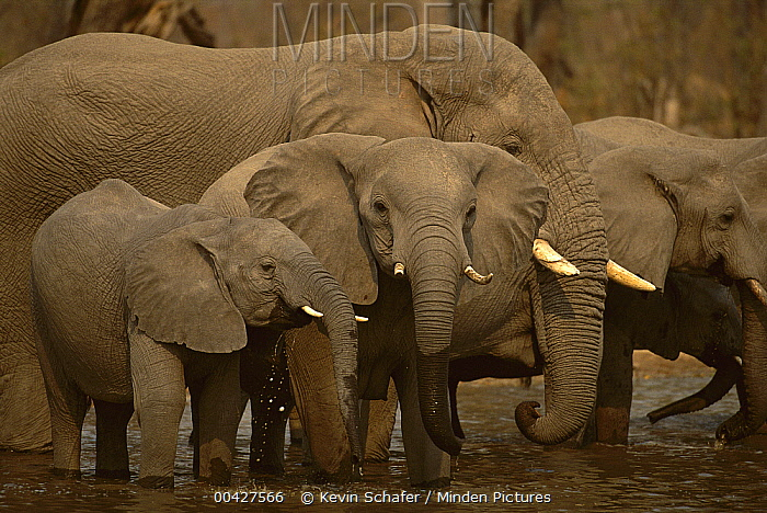 African Elephant (Loxodonta africana) herd drinking, Botswana  -  Kevin Schafer