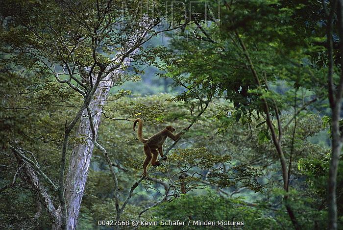Woolly Spider Monkey (Brachyteles arachnoides) climbing in tree, Caratinga Biological Station, Brazil  -  Kevin Schafer