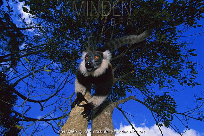 Black and White Ruffed Lemur (Varecia variegata variegata), Mantady National Park, Madagascar  -  Kevin Schafer