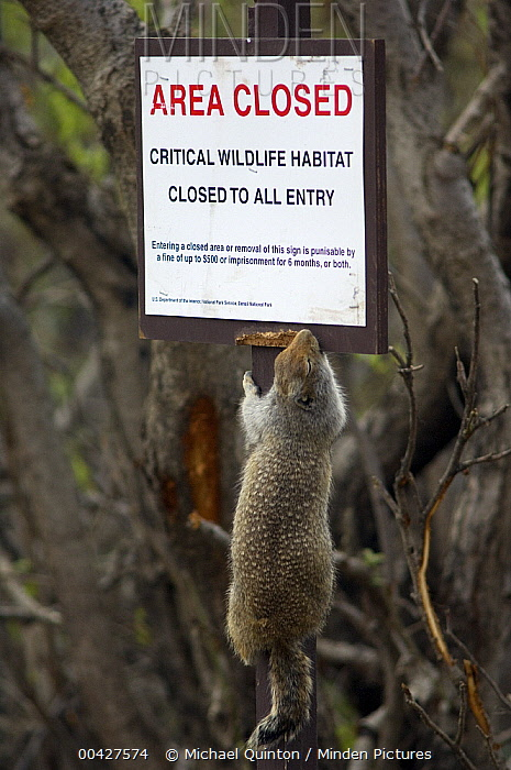 Arctic Ground Squirrel (Spermophilus parryii) chewing on sign, Denali National Park, Alaska  -  Michael Quinton