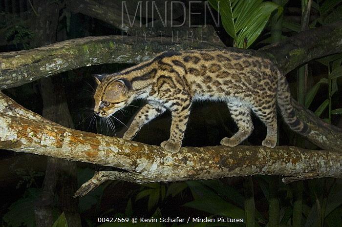 Oncilla (Leopardus tigrinus) walking on branch, Costa Rica  -  Kevin Schafer