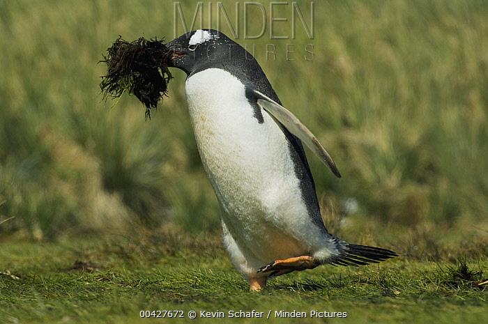 Gentoo Penguin (Pygoscelis papua) carrying nest material, South Georgia Island  -  Kevin Schafer