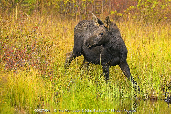 Alaska Moose (Alces alces gigas) orphaned calf beside pond, Denali National Park, Alaska  -  Yva Momatiuk & John Eastcott