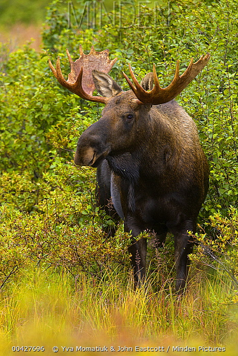Alaska Moose (Alces alces gigas) in tundra during fall rut, Denali National Park, Alaska  -  Yva Momatiuk & John Eastcott