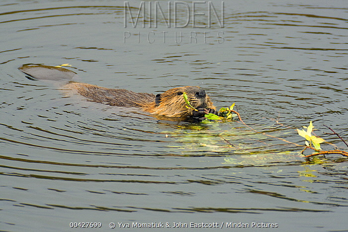 American Beaver (Castor canadensis) dragging and eating willow branch, Denali National Park, Alaska  -  Yva Momatiuk & John Eastcott
