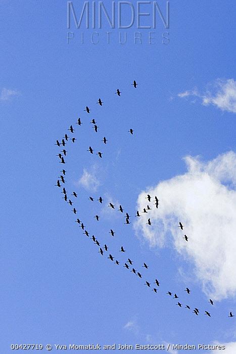 Sandhill Crane (Grus canadensis) flock flying during migration, Alaska  -  Yva Momatiuk & John Eastcott