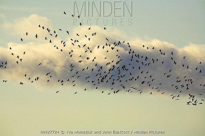 Sandhill Crane (Grus canadensis) flock flying among heavy cumulus clouds, Delta Junction, Alaska  -  Yva Momatiuk & John Eastcott