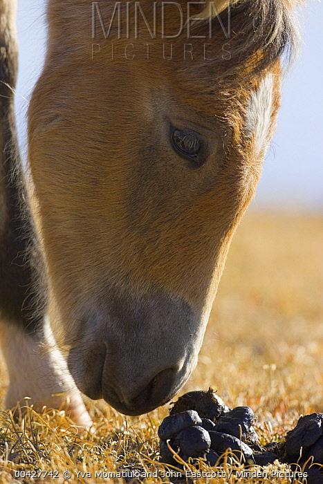 Mustang (Equus caballus) foal sniffing stallion dung pile, Pryor Mountain Wild Horse Range, Montana  -  Yva Momatiuk & John Eastcott