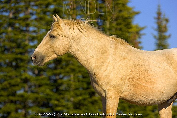 Mustang (Equus caballus) stallion, Pryor Mountain Wild Horse Range, Montana  -  Yva Momatiuk & John Eastcott