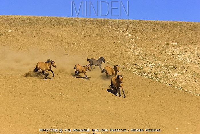 Mustang (Equus caballus) group galloping, Pryor Mountain Wild Horse Range, Montana  -  Yva Momatiuk & John Eastcott