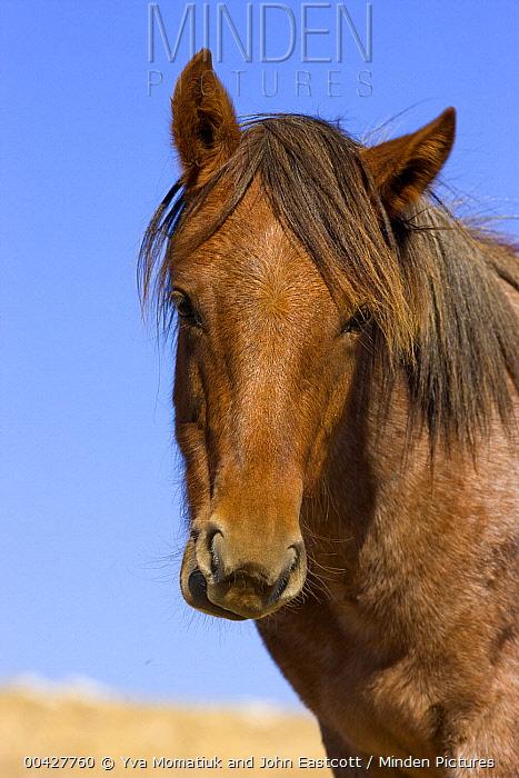 Mustang (Equus caballus) yearling, Pryor Mountain Wild Horse Range, Montana  -  Yva Momatiuk & John Eastcott