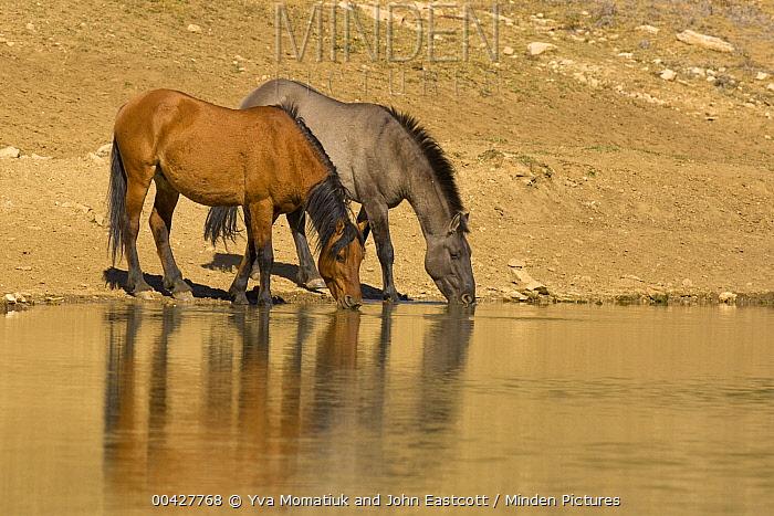 Mustang (Equus caballus) pair drinking at waterhole, Pryor Mountain Wild Horse Range, Montana  -  Yva Momatiuk & John Eastcott
