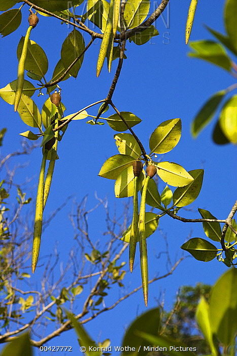 Bakau Kurap (Rhizophora mucronata) fruit, India  -  Konrad Wothe