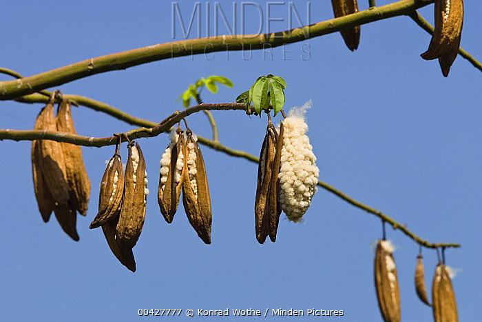 Kapok (Ceiba trichistandra) ripe fruits, India  -  Konrad Wothe