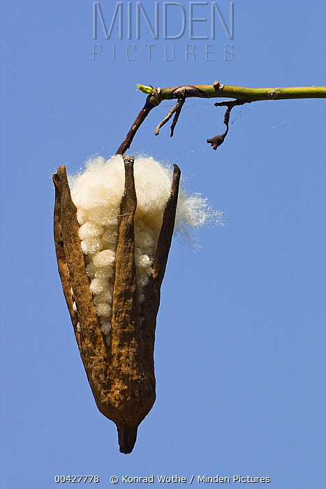 Kapok (Ceiba trichistandra) ripe fruit, India  -  Konrad Wothe