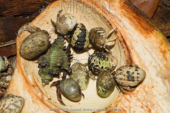 Hermit Crab (Paguritta gracilipes) group eating coconut, India  -  Konrad Wothe