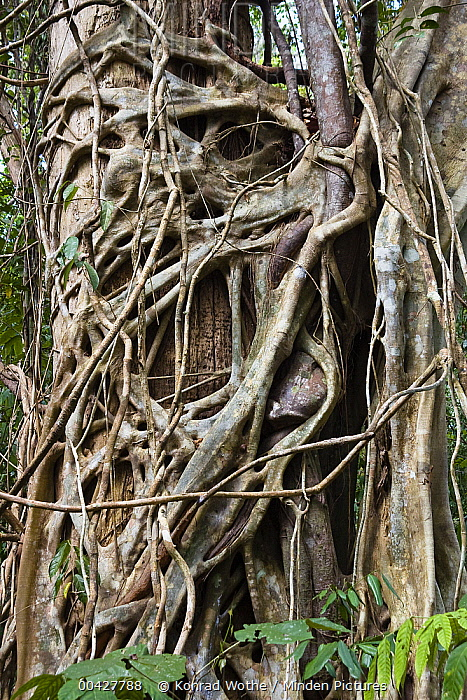 Indian Banyan Tree (Ficus benghalensis) wrapping around host tree, Interview Island, India  -  Konrad Wothe