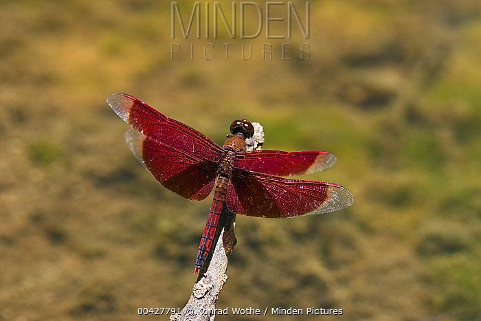 Dragonfly, India  -  Konrad Wothe