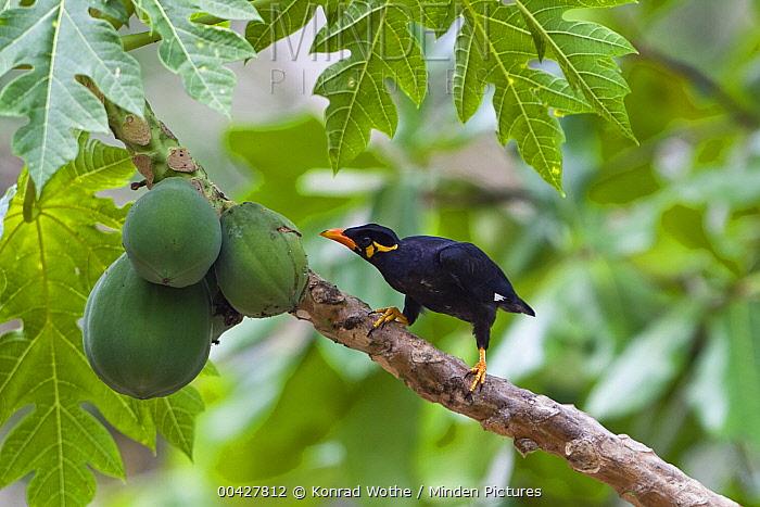 Hill Myna (Gracula religiosa) feeding on papaya, Havelock Island, India  -  Konrad Wothe