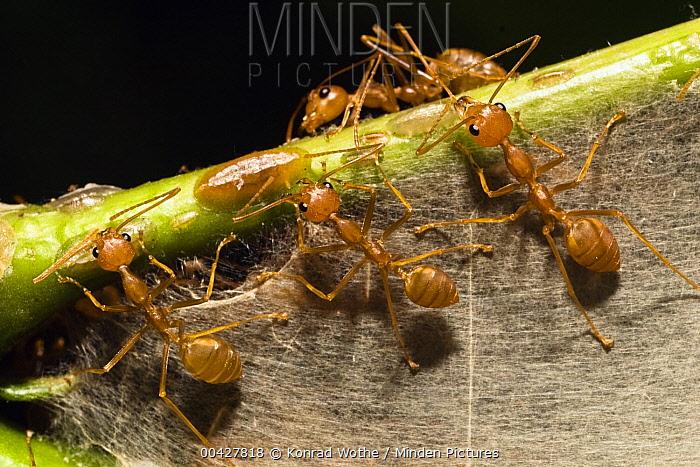 Weaver Ant (Oecophylla longinoda) group weaving nest, Havelock Island, India  -  Konrad Wothe