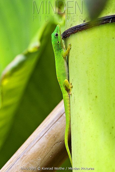 Andaman Day Gecko (Phelsuma andamanensis), India  -  Konrad Wothe