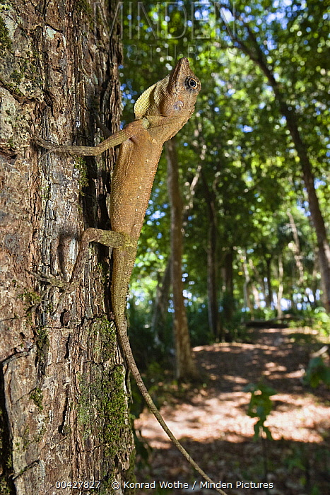 Tree Dragon (Gonocephalus sp) young, India  -  Konrad Wothe