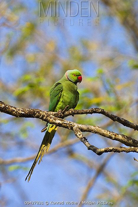 Rose-ringed Parakeet (Psittacula krameri) male, south India  -  Konrad Wothe