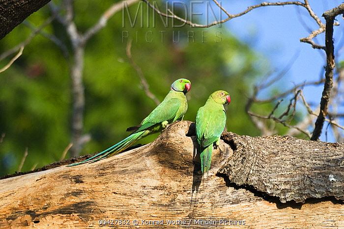 Rose-ringed Parakeet (Psittacula krameri) pair, south India  -  Konrad Wothe